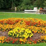 marigold-garden